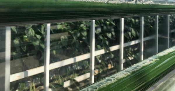 De revolutie van algen als voedingsbron
